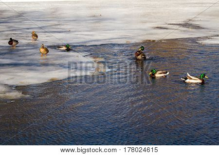 St. Petersburg-March 24, 2017: Spring. Park on the Elagin Island. Ducks are going to create pairs on thawed patches of still frozen river.