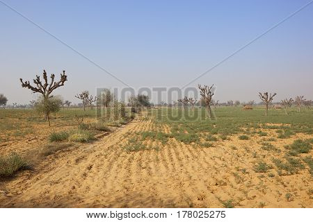 a sandy rajasthan farming landscape with acacia trees straw huts and crops under a blue sky in india