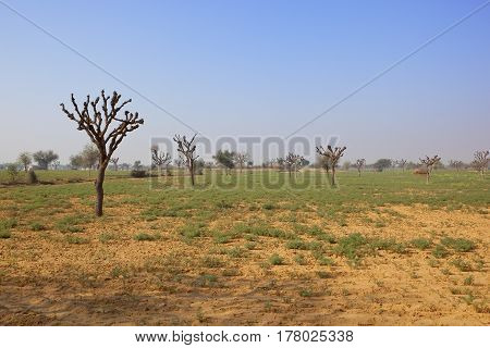 a sandy rajasthan rural landscape with pollarded acacia trees and green vegetation under a clear blue sky in india