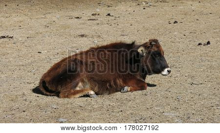Nepalese lu lu dwarf cow. Rare breed of dwarf cows in Manang and Muktinath.