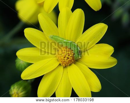 green worm eating on the top of a yellow flower in the spring