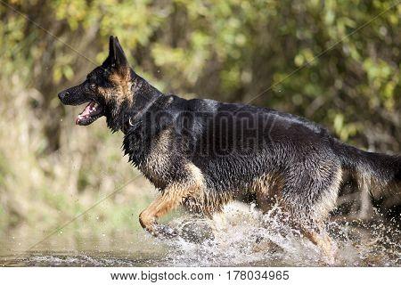 dog german shepherd run and swim in water