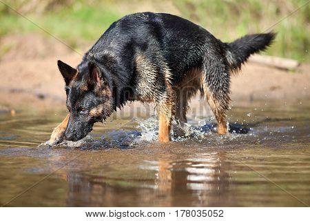 dog german shepherd swim and play in water