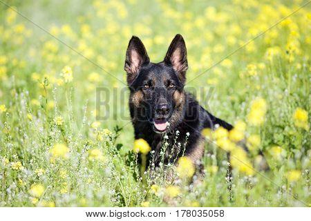 German Shepard dog sit in yellow flower field