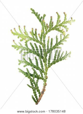 Green branch of arborvitae (Thuja occidentalis) isolated on white background