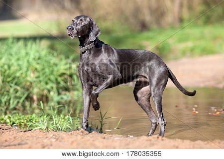 Weimaraner purebred dog stand outside portrait .
