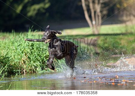 Weimaraner dog play and bring back branch