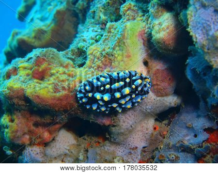 The surprising underwater world of the Bali basin, Island Bali, Lovina reef, true sea slug
