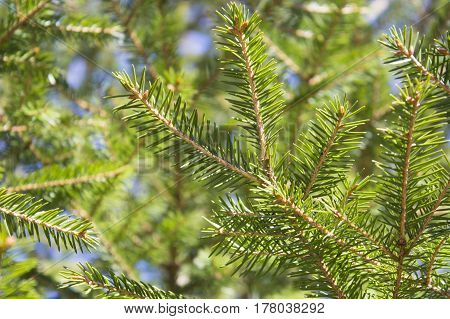 Image of fluffy fir needle as background.