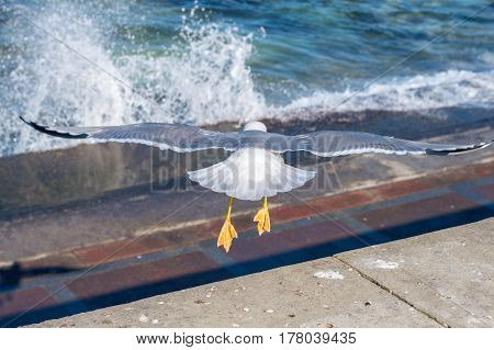 The sea gull which flies over surface of the sea