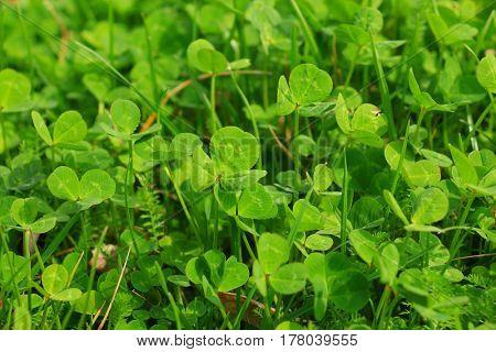 Leaf clover background