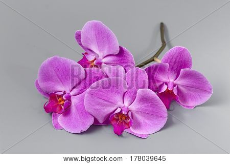 Beautiful Fresh Bright Orchid On A Gray Background