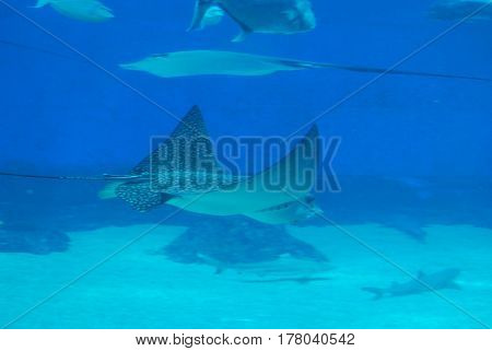 Stingray swimming along the ocean floor with sharks in the background.