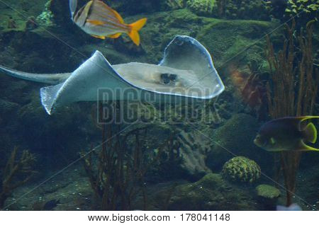 Scuba diving along an amazing coral reef with a stingray and colorful fishes.