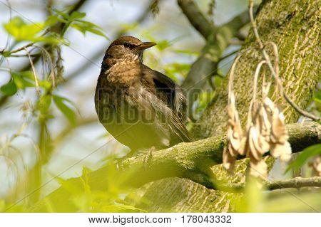 A watchful (Sturnus vulgaris) starling on branch in spring