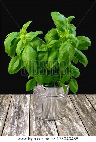Green fresh basil in metal bucket on gray table