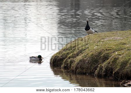 Barnacle goose (Branta leucopsis) on the coast near the pond. Wild bird with black and white plumage