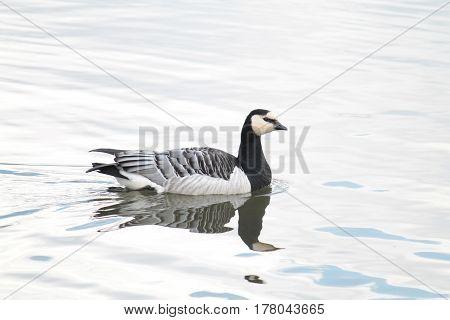 Barnacle goose (Branta leucopsis). Wild bird afloat