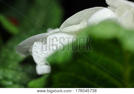 Water drops on white flower among green leaves.