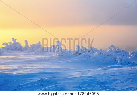 Nice twisted trees covered with thick snow layer enlighten rose and yellow colored sunset in winter day.