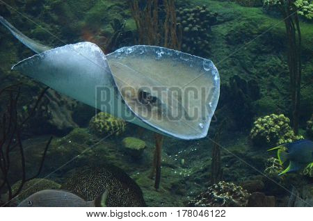 Amazing stingray gliding along the coral reef in the ocean waters.
