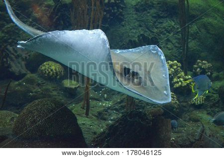 Gliding stingray moving along underwater beside a coral reef.
