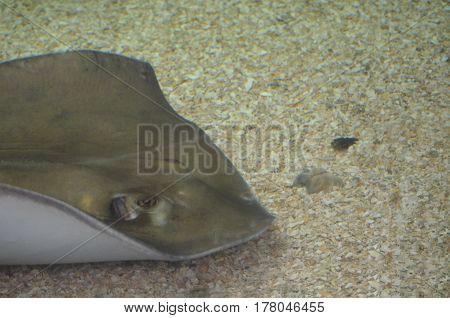Very interesting gray stingray sitting on the sand ocean bottom.