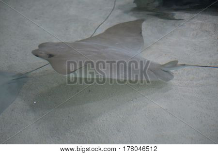 Gray stingray swimming along the floor of the sandy ocean.