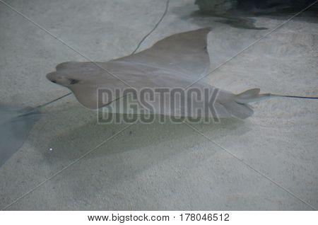 Gray stingray swimming along the floor of the sandy ocean.