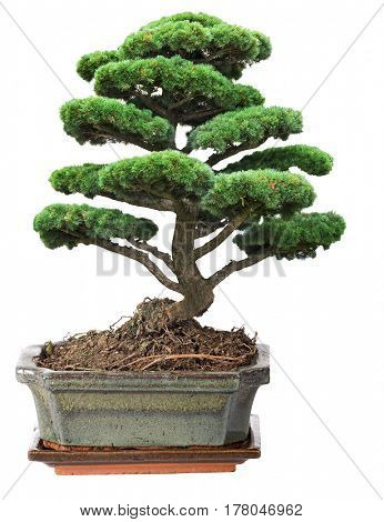 green bonsai pine tree isolated on white background