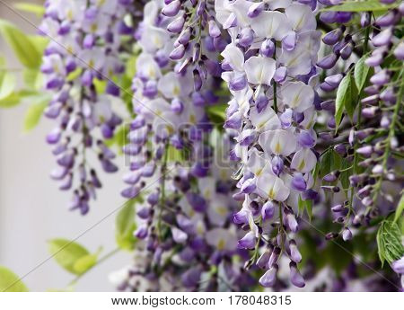Large brushes of fragrant purple flowers blossoming wistaria