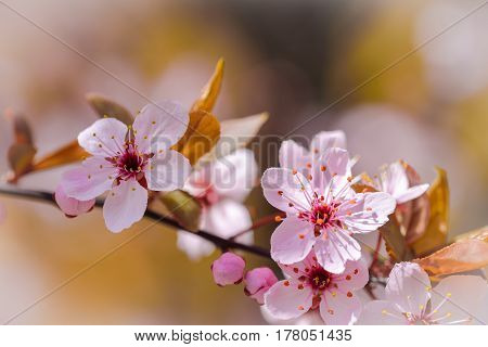Beautiful pink cherry blossoms on a tree branch, in spring season