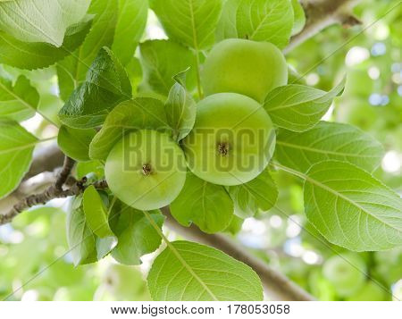 Green apples on branch with leaves view from under
