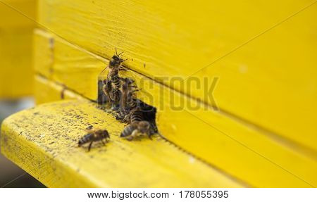 close up bee collecting nectar and pollen from a flower and moving into a yellow beehive