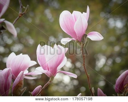 Flowers of the blossoming magnolia on a green background
