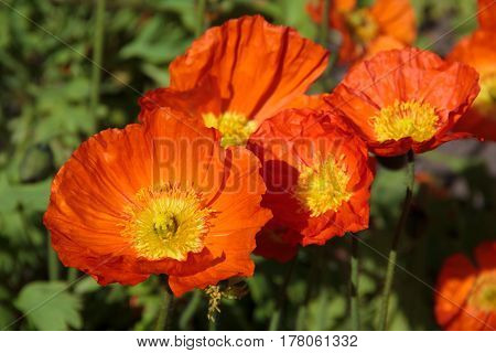 orange poppy at the botanical garden, Soft selective focus and shallow depth of field