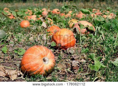 Pumpkins On A Field Under A Great Cloudscape.