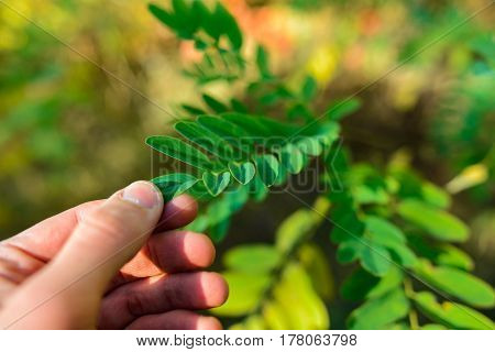 Nephrolepis Exaltata The Sword Fern - A Species Of Fern In The Family