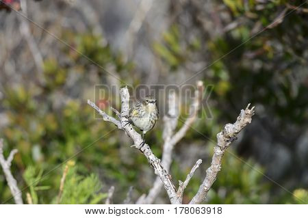 Watchful Yellow-rumped Warbler perched on dead branch