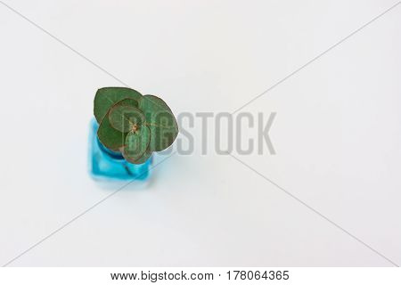 Silver dollar eucalyptus twig in blue glass bottle on white background top view copyspace styled image mockup product branding announcement marketing blogging header