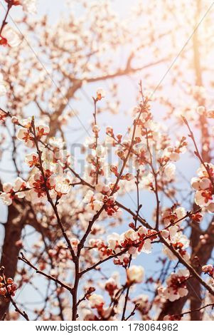 Beautiful White Branches Of Cherry Blossom In Spring Garden. Natural
