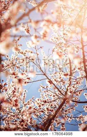 Beautiful Cherry Blossom In Spring  Time Season. Floral Wallpaper