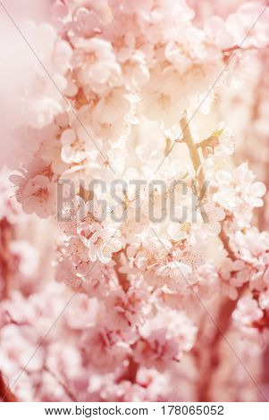 Cherry Blossom In Spring Sunny Day. Floral Background