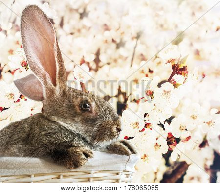 Grey Rabbit In White Basket On Blossoming Easter Background