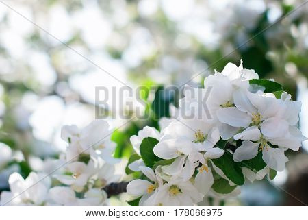 Apple Tree Blossoms In Spring Garden Natural