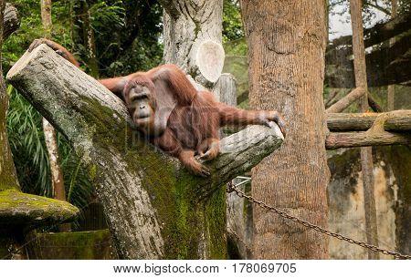 Portrait female orangutan with lazzy pose .