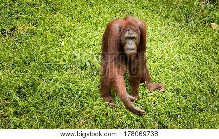Portrait female orangutan with begging pose .