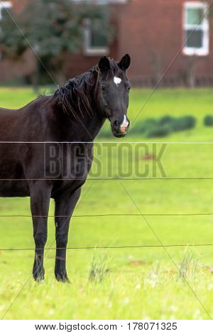 Dark brown horse with star and snip markings looking at the camera - vertical format