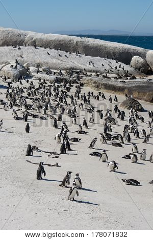 African Penguins, Also Known As Jackass Penguins On The Beach