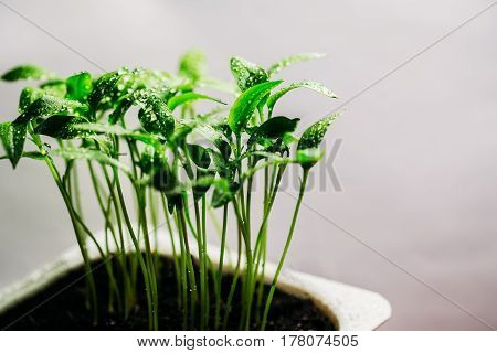 Sprouts of a young seedling pepper on a white background